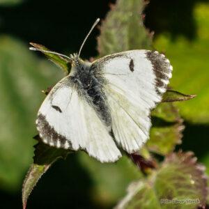 Aurorafalter Weibchen